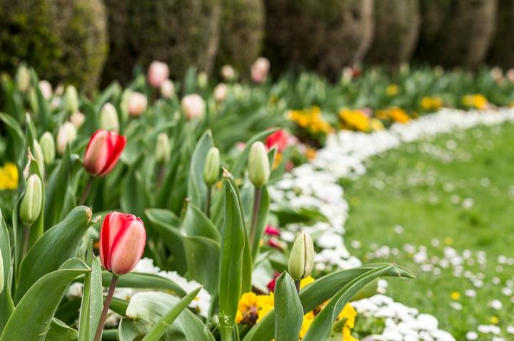 les tulipes du Parc du Thabor à Rennes